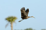 Bird On Tree Metal Prints - Limpkin Metal Print by David Tipling