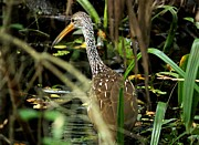 Limpkin Print by Theresa Willingham