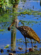 Circle B Bar Posters - Limpkin with an Apple Snail Poster by Barbara Bowen