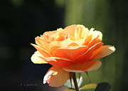 Peach Rose Prints - Lindas Rose Garden 3 Print by Kerri Ligatich