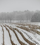 Corn Stalks Art - Lines In The Snow by Odd Jeppesen