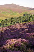 Tor Framed Prints - Ling Heather (calluna Vulgaris) Framed Print by Duncan Shaw