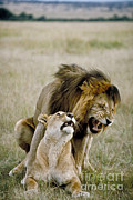Grimace Prints - Lion And Lioness Mating Print by Greg Dimijian