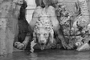 White Photos - Lion and Water by Kevin Flynn