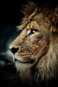 Animus Photography Prints - Lion Print by Animus Photography