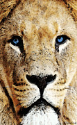 African Art Prints - Lion Art - Blue Eyed King Print by Sharon Cummings