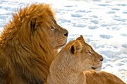 Lying Metal Prints - Lion couple in the snow Metal Print by Gert Lavsen