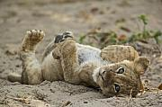 Lion Framed Prints - Lion Cub Framed Print by Johan Elzenga