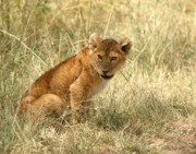 For Photo Originals - Lion cub Looking for Mom by Joseph G Holland