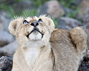 Lion Cub Posters - Lion Cub Looks Up Poster by Carol Walker