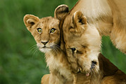 Lion Cub Posters - Lion Cub with mother Poster by Julie L Hoddinott