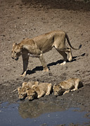 Lion Cubs Posters - Lion Cubs and Mom Get a Drink Poster by Darcy Michaelchuk