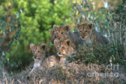 Lion Cubs Posters - Lion Cubs Awaiting Mom Poster by Sandra Bronstein