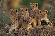 Lion Art - Lion Cubs by Joe McDonald and Photo Researchers