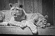 Lion Cub Sleeping Posters - Lion Cubs  Poster by Steve McKinzie