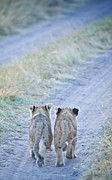 Animals Photo Framed Prints - Lion Cubs Walking Together In Masai Mara Framed Print by Mehmed Zelkovic