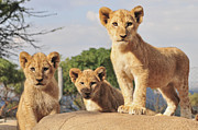 Johannesburg Photos - Lion Cubs by Walter Stein