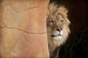 Beasts Prints - Lion Emerging    captive Print by Steve Gadomski