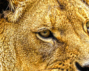Lion Cub Sleeping Posters - Lion Eye Poster by Steve McKinzie