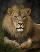 Lion Framed Prints - Lion in Repose Framed Print by Warren Sarle