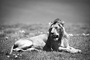 African Cats Prints - Lion King in Black and White Print by Sebastian Musial