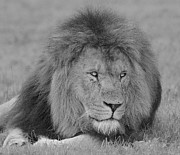 Canvas  Black And White Cat Photos - Lion King by Roy McPeak