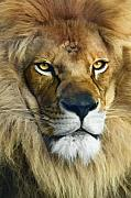 Jungle Animals Posters - Lion of Judah II Poster by Sharon Foster