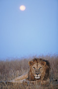Male Animal Framed Prints - Lion (panthera Leo) Resting In Grass Under Setting Full Moon Framed Print by Paul Souders