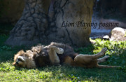 Possum Photos - Lion Playing Possum by Douglas Barnett