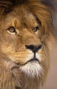 Lion Portrait Posters - Lion portrait Poster by Johan Elzenga