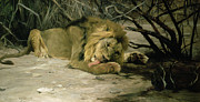 Wild Animals Metal Prints - Lion Reclining in a Landscape Metal Print by Wilhelm Kuhnert