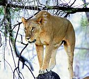 Lioness Posters - Lioness - Ready to Pounce Poster by Nancy Hall