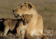 Lioness Framed Prints - Lioness And Her Cub  Framed Print by Sandra Bronstein
