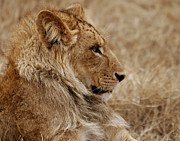 Natural Photos - Lioness by C Ribet