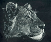 Lioness Drawings Posters - Lioness Poster by Don Winsor