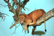 Tree. Acacia Posters - Lioness in Africa Poster by Sebastian Musial
