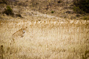 On-the-look-out Acrylic Prints - Lioness looking for a meal by Darcy Michaelchuk
