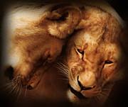 Lioness Love Print by Zeana Romanovna
