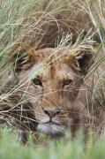 Wild Grass Posters - Lioness Peering Through Grass, Africa Poster by David Ponton