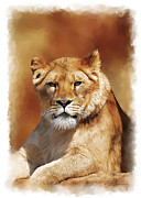 Lions Mixed Media Prints - Lioness Portrait Print by Michael Greenaway