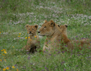 Lioness Posters - Lioness with Cubs Ngorongoro  Poster by Joseph G Holland