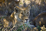 Big Cats - Lioness with Pride in Shade by Darcy Michaelchuk