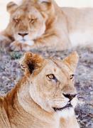 African Wild Life Posters - Lionesses Lying In Shade In Maasai Mara Poster by Axiom Photographic