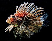 Lionfish Framed Prints - Lionfish Framed Print by Benjamin Yeager