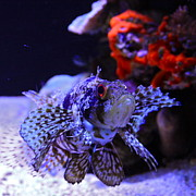 Venomous Photos - Lionfish by Karon Melillo DeVega