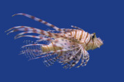 Volant Framed Prints - Lionfish Pterois volitans Framed Print by Ed Book