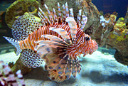 Sandi OReilly - Lionfish