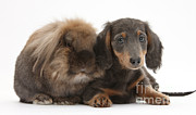 Lionhead-cross Rabbit And Dachshund Pup Print by Mark Taylor
