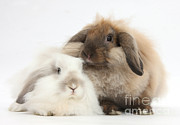 Lop Prints - Lionhead-lop Rabbits Print by Mark Taylor