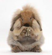 Lionhead X Lop Rabbit Grooming Print by Mark Taylor